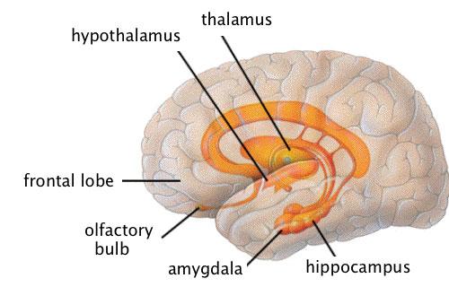 subcortical-linguagem-corporal