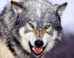 lobo-evolucionista
